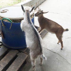 家畜を見るためにヤギ牧場に吟行しました