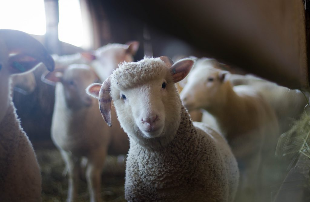「なぜこんなことを俳句でやろうと思ったの……?」と思っている羊