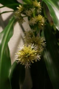 ドラセナの花 001
